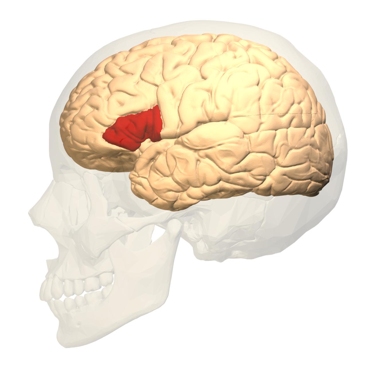 За что отвечает теменная доля головного мозга
